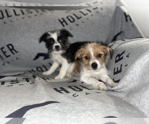 Jack Russell Terrier-Shih Tzu Mix Puppy for sale in DETROIT, MI, USA