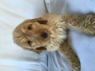 Labradoodle Puppy for sale in ALLIANCE, OH, USA