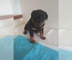 Puppy 4 Rottweiler