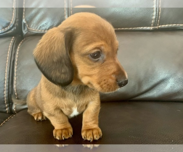 View Ad: Dachshund Litter of Puppies for Sale near Hungary