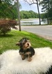 Yorkshire Terrier Puppy For Sale in CRANSTON, RI, USA