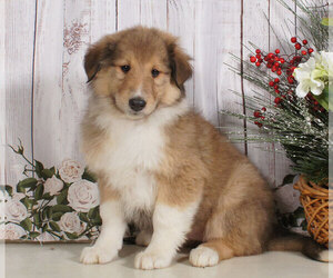 Collie Puppy for sale in PENNS CREEK, PA, USA