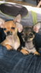 Chihuahua Puppy For Sale in SAN FRANCISCO, CA, USA