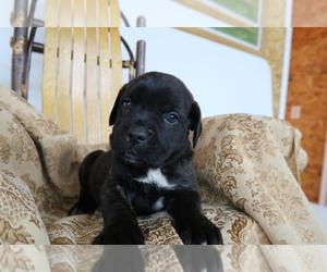 Cane Corso Puppy for sale in BOSTON, MA, USA
