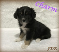 Miniature Australian Shepherd Puppy For Sale in FORESTBURG, TX,