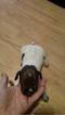 Puppy 6 German Shorthaired Pointer