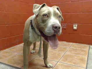 American Pit Bull Terrier Dog For Adoption in Downey, CA