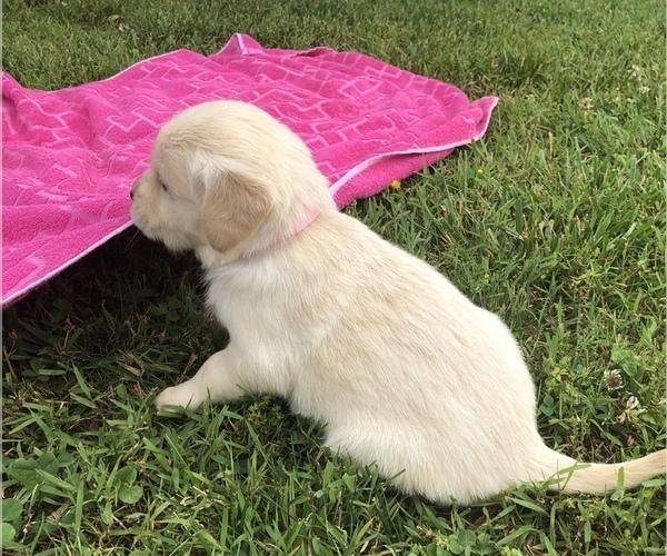 Medium Photo #5 Golden Retriever Puppy For Sale in AUSTIN, KY, USA