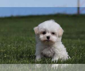 Maltese Puppy for Sale in MOUNT VERNON, Ohio USA