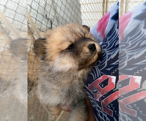 Chow Chow Puppy for sale in APPLE VALLEY, CA, USA