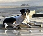 Australian Shepherd-Bernese Mountain Dog Mix Dog For Adoption near 38017, Fisherville, TN, USA