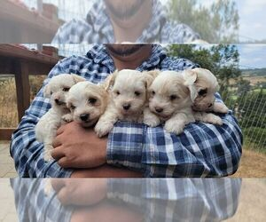 Maltese Puppy for sale in ROYAL OAKS, CA, USA