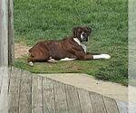 Small Photo #1 Boxer Puppy For Sale in DILLSBORO, IN, USA