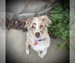 Australian Shepherd Puppy for Sale in SPOKANE, Washington USA