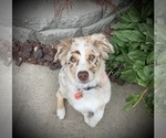 Small Photo #1 Australian Shepherd Puppy For Sale in SPOKANE, WA, USA