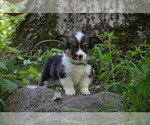 Small Photo #2 Pembroke Welsh Corgi Puppy For Sale in TUPELO, MS, USA