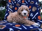Shih-Poo Puppy For Sale in PEACH BOTTOM, PA, USA