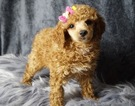 Adorable Toy Poodle Puppies Available