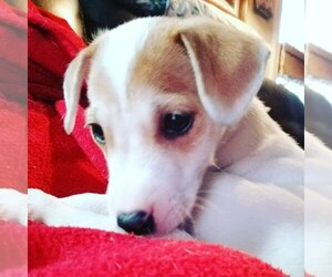 Jack Russell Terrier Puppy for Sale in WATERFORD, Connecticut USA