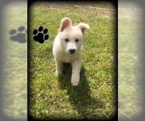 German Shepherd Dog Puppy for Sale in MICANOPY, Florida USA