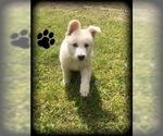 German Shepherd Dog Puppy For Sale in MICANOPY, FL, USA