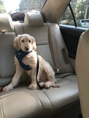 Goldendoodle Puppy For Sale in HUMBLE, TX, USA