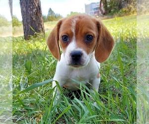 Beagle Puppy for sale in AINSWORTH, NE, USA
