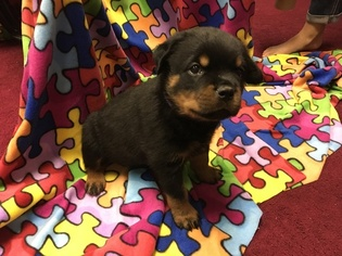 View Ad Rottweiler Puppy For Sale Maryland Joppa Usa