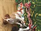 Brittany Puppy For Sale in DU BOIS, PA, USA