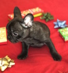 Small #9 French Bulldog