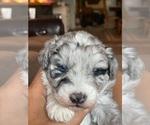 Puppy 3 Aussiedoodle-Miniature Australian Shepherd Mix