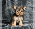 Puppy 8 Yorkshire Terrier