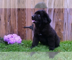 Newfoundland Puppy for Sale in SUGARCREEK, Ohio USA