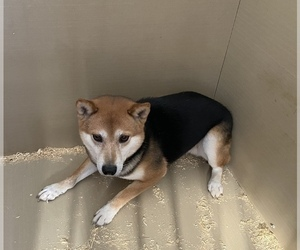 Father of the Shiba Inu puppies born on 09/09/2020