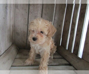 Poodle (Toy)-Schnauzer (Miniature) Mix Puppy for sale in AKRON, OH, USA
