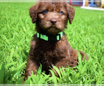 Small #9 Labradoodle