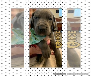 Great Dane Puppy for Sale in MERCER, Pennsylvania USA