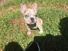 French Bulldog Puppy For Sale in AU SABLE FORKS, NY, USA