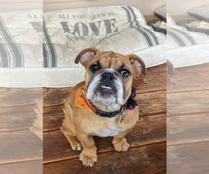 English Bulldog Puppy for sale in WINDSOR, CO, USA