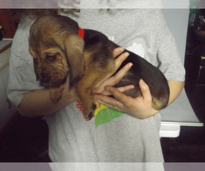 Bloodhound Puppy for sale in HOLLAND, OH, USA