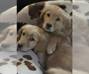 Golden Retriever Puppy for Sale in LODI, New York USA