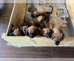 Belgian Malinois Puppy For Sale in LOS ANGELES, CA, USA