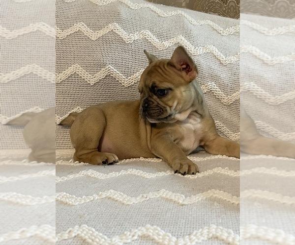 Medium Photo #4 French Bulldog Puppy For Sale in JACKSONVILLE, FL, USA