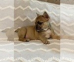 Small Photo #4 French Bulldog Puppy For Sale in JACKSONVILLE, FL, USA
