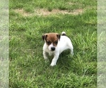 Small #11 Jack Russell Terrier