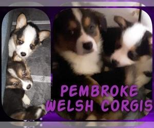 Pembroke Welsh Corgi Puppy for Sale in CIMARRON, New Mexico USA