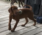 Small Photo #8 Vizsla-Weimaraner Mix Puppy For Sale in KILLEN, AL, USA