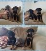 Doberman Pinscher Puppy For Sale in CLARINDA, IA, USA