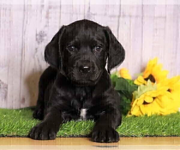 Medium Photo #1 Rottle Puppy For Sale in FREDERICKSBG, OH, USA