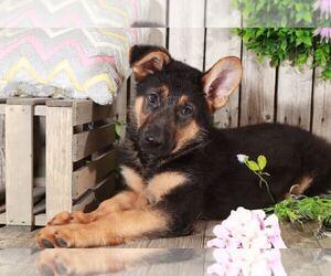 German Shepherd Dog Dog for Adoption in MOUNT VERNON, Ohio USA